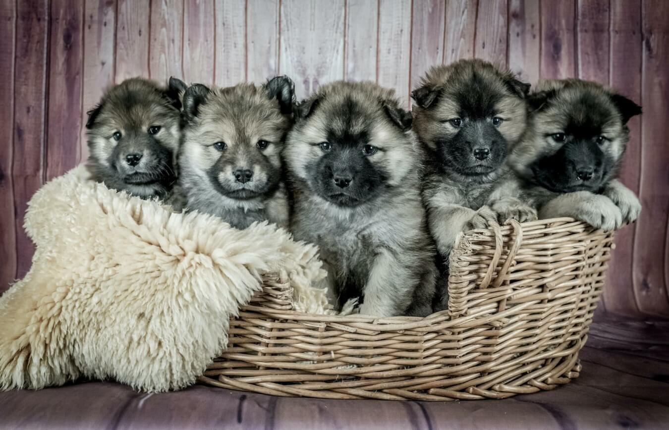 Puppies in een mand